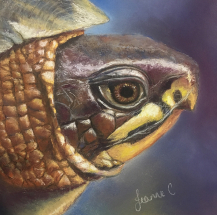 Box-Turtle-by-Jeanne-Cotter
